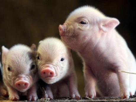 """Un producător local de carne îi sfătuieşte pe români să se apuce de crescut porci: """"Dacă cei din Vest renunţă, să profităm noi"""""""
