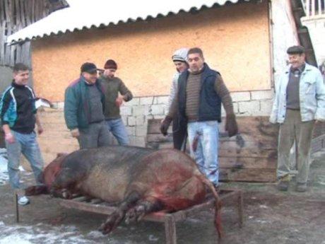 Jack, porcul de jumătate de tonă tăiat în Schitu Goleşti, Argeş