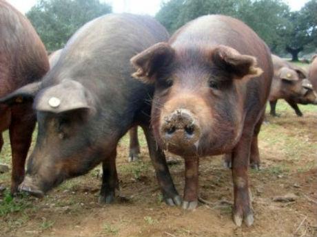 S-a dat liber la circulaţia porcilor în România. Cine câştigă şi cine pierde