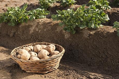 Kartoffel Amflora, MitarbeiterhŠnde; Li444