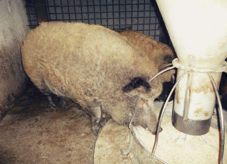 carne porc mangalita bucuresti