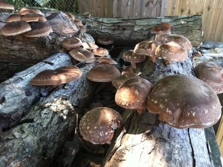 Cum se cultivă shiitake, ciuperca anti-cancer