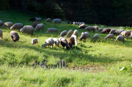 Grazing-sheep-herd872