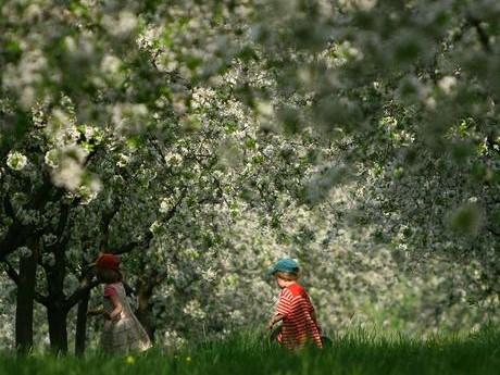 Cireşul, cultura la care România este pe locul 3 în lume ca productivitate