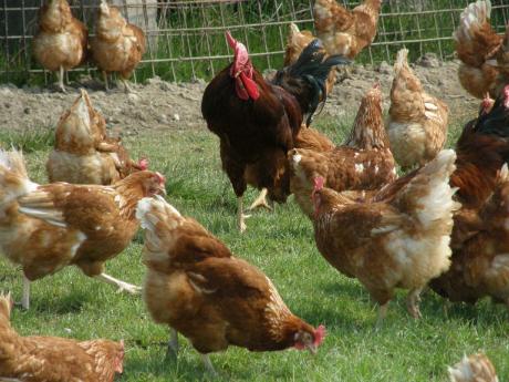 """Bogdan Pârvu (21 de ani) creşte 2000 de găini """"free-range"""" şi vinde ouăle la piaţă"""