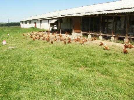 creşte găini