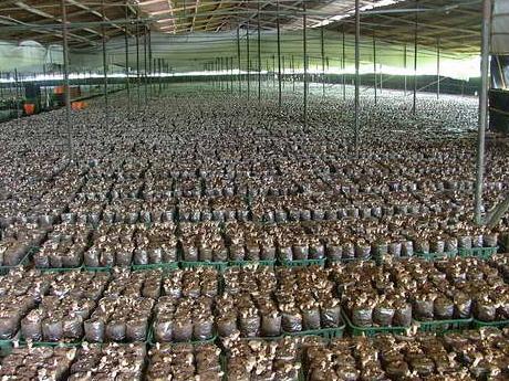 Taiwanezii au găsit secretul recoltelor record la ciuperci: Agaricus şi Pleurotus, cu 30% în plus