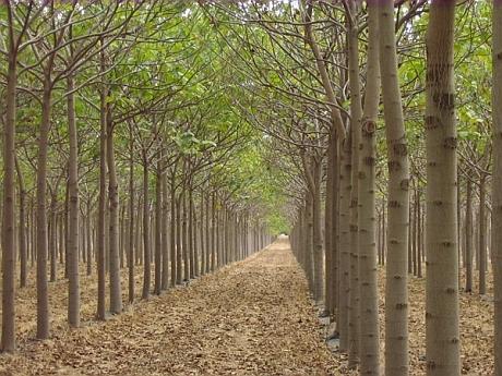 Paulownia, arborele-minune care i-a vrăjit și pe români