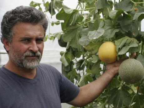 Marian Baronescu, fermierul care cultivă pepeni pe verticală