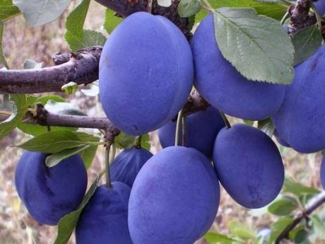 prune moldova