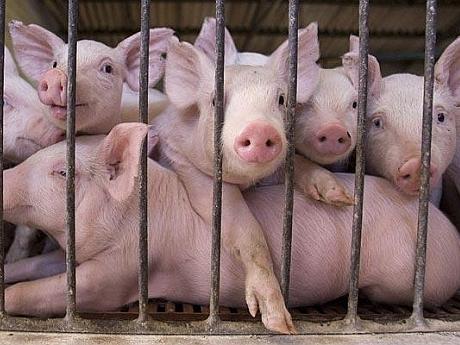 ferma de porcine