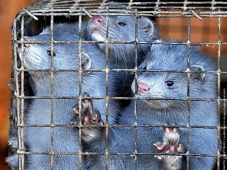 Cum își mută olandezii fermele de nurci în România după ce la ei s-a interzis jupuirea acestor animale