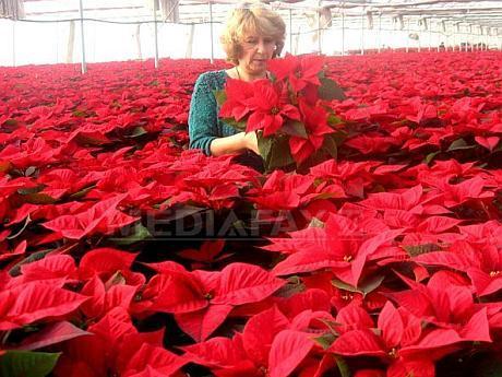 Povestea familiei de arădeni care vinde anual 10.000 de flori pentru Crăciun