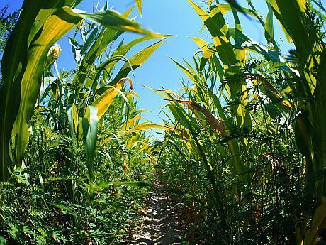 Trail Through Corn Field