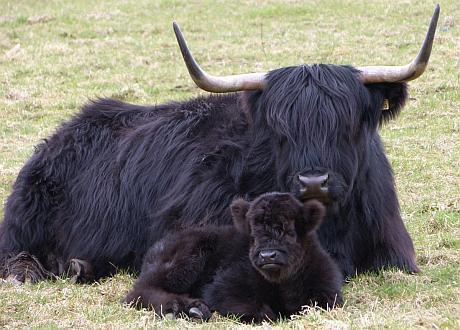 Black Highland Cattle Scotland Photography