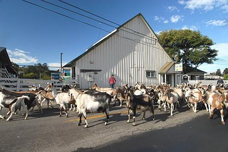 caprele de la ferma harley