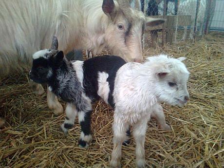 ferma caprele irinucai