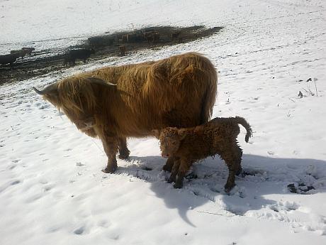 highland scotian 2