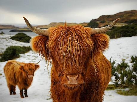 vaci scottish highland