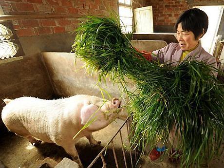 ferma de porci china