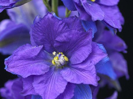 floare de confetti