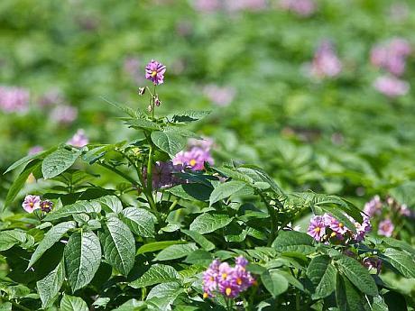 planta cartof mov