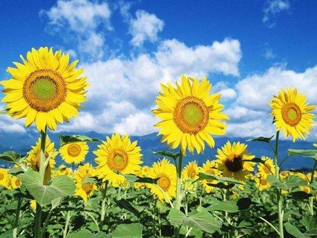 rsz_sunflower-452-2