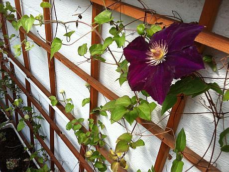 flori agatatoare