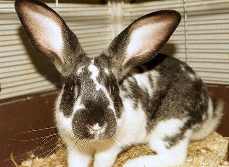 pierderea în greutate la iepurii mai în vârstă)