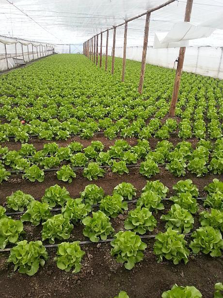 salata productie feb 2014 - o sapt inainte de recolta