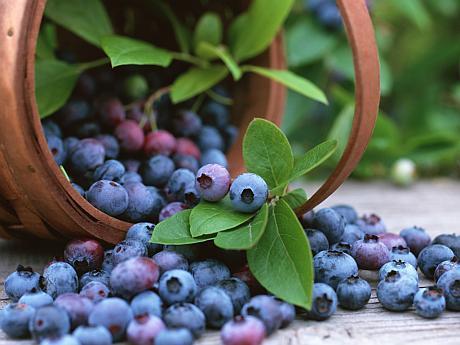 Afinul, arbustul-vedetă aduce profituri de 20.000 de euro/an/hectar