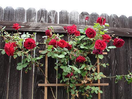 trandafiri pe gard