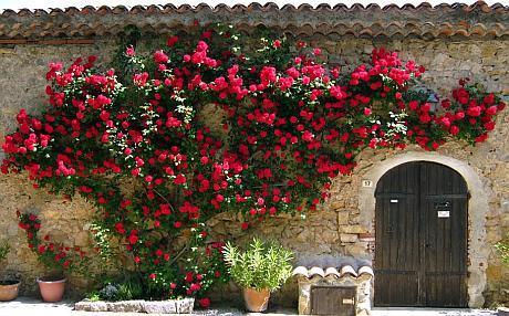 trandafiri pe zid