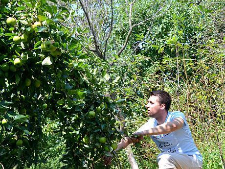 cules de mere verzi