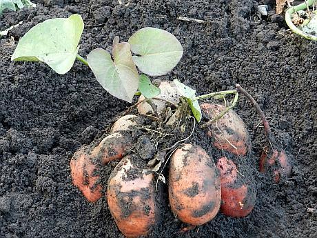cartofi dulci Romania