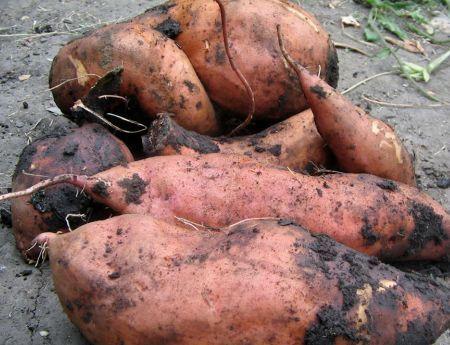 cartofi dulci1