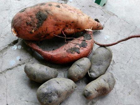 cartofi dulci2