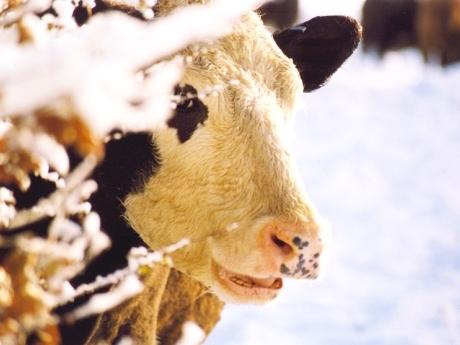 ingrijirea animalelor iarna ger