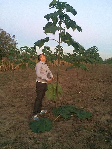 Plantatie Paulownia in Buftea