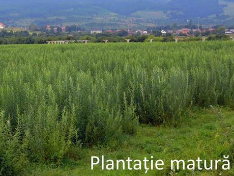 Plantatie matura de salcie energetica