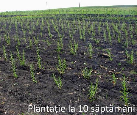 Plantatie salcie energetica 10 saptamani