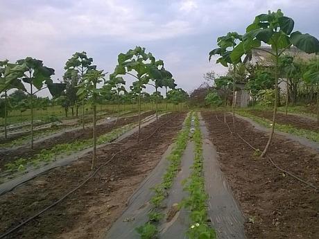 plantatie de arbori Paulownia in Romania