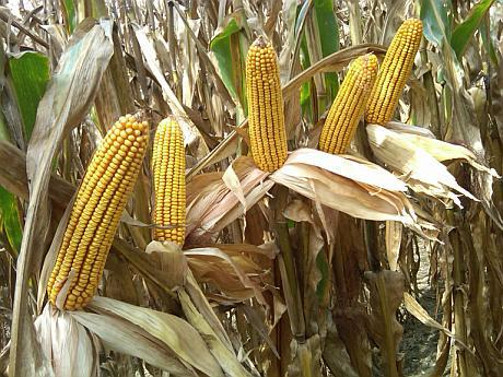 porumb hibrizi Monsanto Delkalb