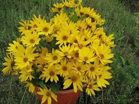 flori de topinambur