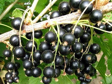 Coacaz - plantare, fertilizare, lucrari de taiere, recoltare | Botanistii