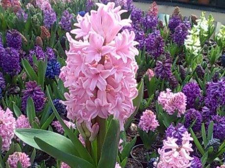 flori zambile martie