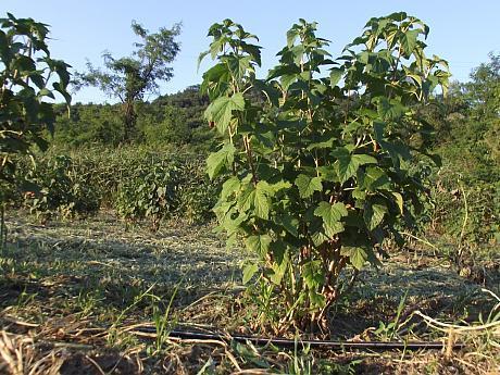 Sfaturi de plantare coacăz și beneficiile consumului de coacăze