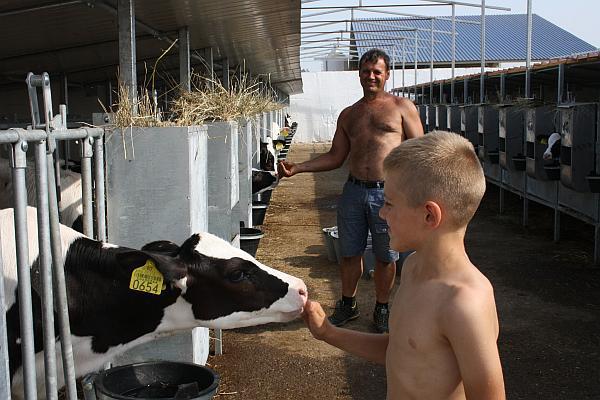 ferma de vaci Timis