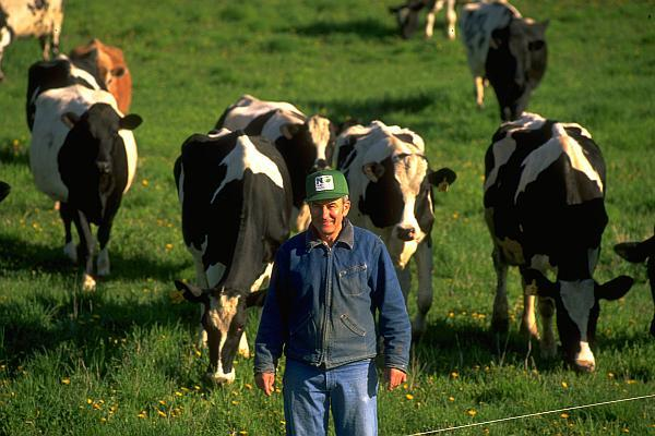 fermier cu vaci la pascut