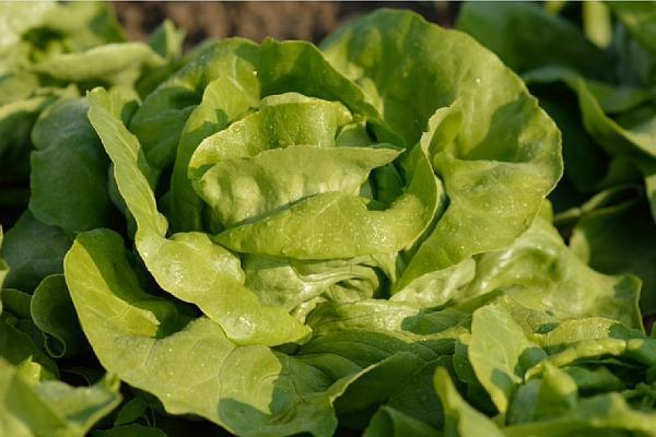 Salata Helmut